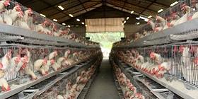 chicken-sa-280x140