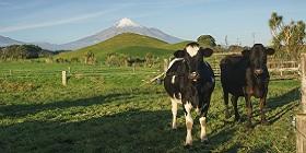 cow-280x140