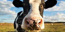 cow002-280x140